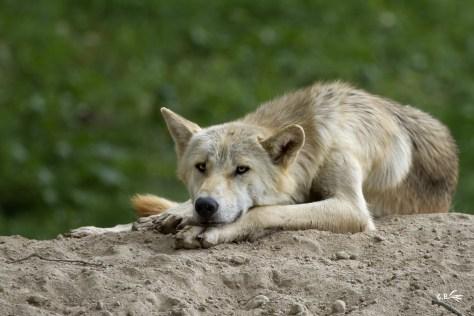 Loup du Canada, Le Pal (Allier), juillet 2019