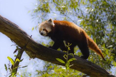 Panda roux, Le Pal (Allier), juillet 2019