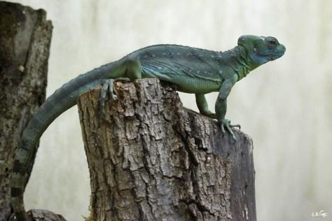 basilic vert, Touroparc zoo, novembre 2017