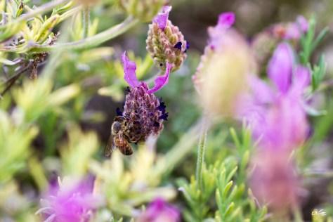 abeille sur lavande papillon, Vauvert (Gard), mai 2021