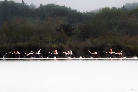 Vol de flamants rose