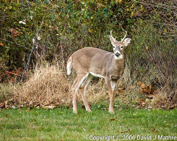Wary buck. Backyard autumn nature in New Jersey. Image taken with a Nikon D2xs camera and 80-400 mm VR lens (ISO 400, 400 mm, f/5.6, 1/45 sec). (David J Mathre)