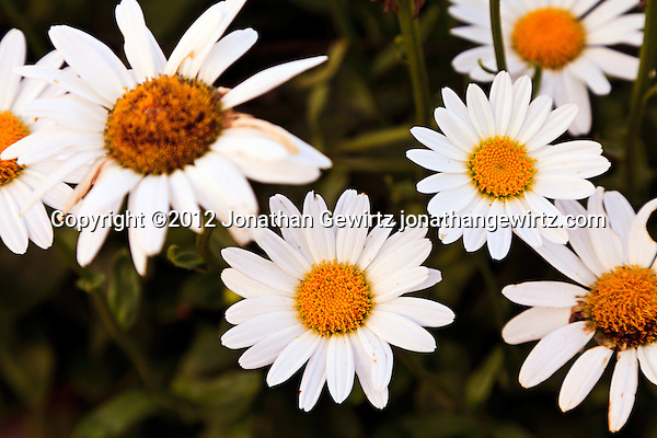 Daisy flowers (Bellis perennis or Leucanthemum vulgare of the Asteraceae family) in a garden. (© 2012 Jonathan Gewirtz / jonathan@gewirtz.net)