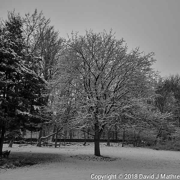Snow covered maple tree. Image taken with a Fuji X-T1 camera and 16 mm f/1.4 lens (ISO 200, 16 mm, f/8, 1/320 sec). Raw image processed with Capture One Pro (including conversion to B&W). (David J Mathre)