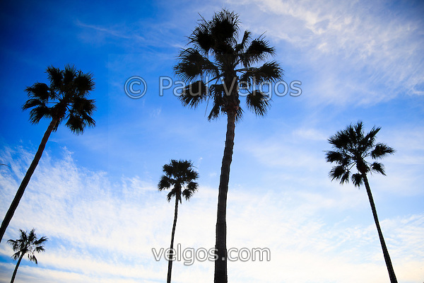 Palm trees high resolution photo. Palm trees with a dramatic blue sky. (Photographer: Paul Velgos)