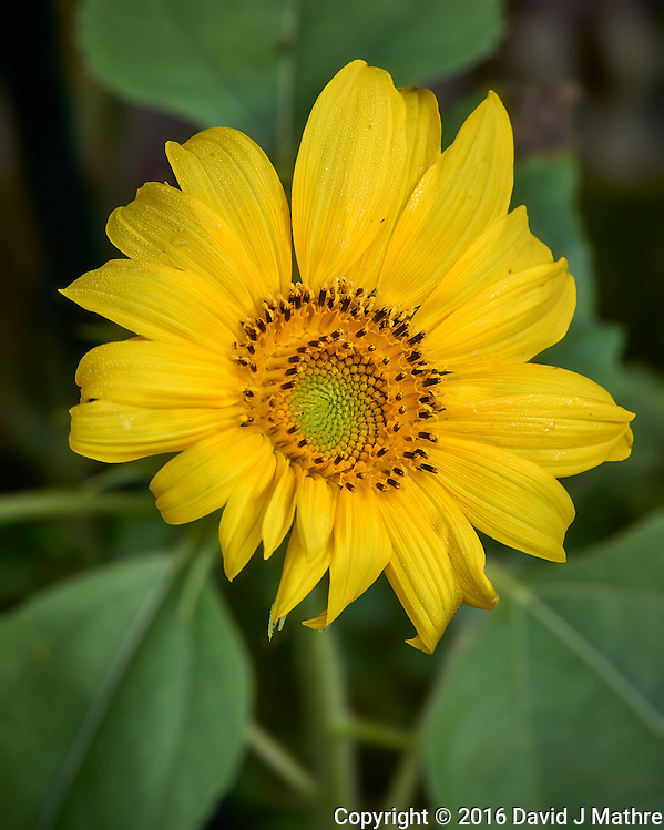 Sunflower bloom at an urban farm in St. Petersburg, Florida. Image taken with a Leica T camera and 55-135 mm lens (ISO 200, 135 mm, f/4.5, 1/500 sec). (David J Mathre)