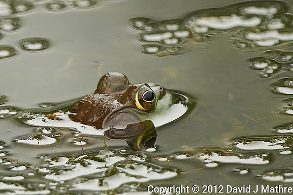 Bullfrog in a Pond at the Sourland Mountain Preserve in New Jersey. Image taken with a Nikon D800 and 500 mm f/4 VRII lens (ISO 800, 500 mm, f/4, 1/800 sec). Crop of image taken with the Right focus sensor. (David J Mathre)