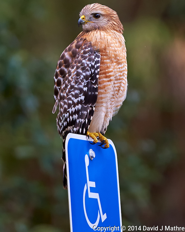 Hawk Guarding the Handicapped Parking Space. Image taken with a Nikon Df camera and 300 mm f/4 lens (ISO 2200, 300 mm, f/4, 1/1250 sec) (David J Mathre)
