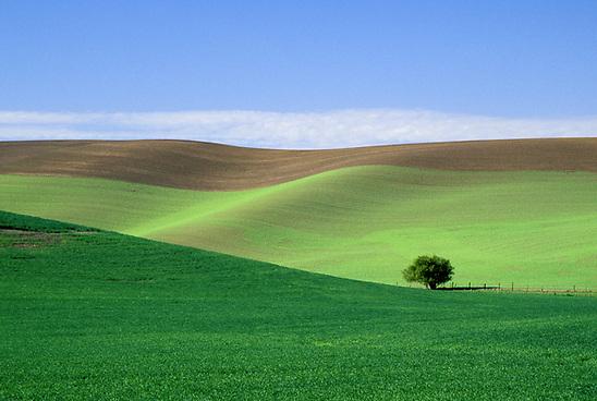 Lonely tree in field of wheat, Palouse area, Washington. (copyright Brad Mitchell Photogra/Brad Mitchell)