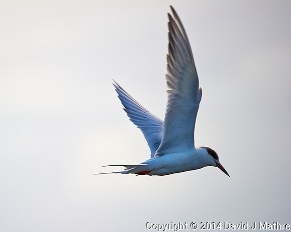 Tern in Flight at Merritt Island National Wildlife Refuge in Florida. Image taken with a Nikon D3s camera and 80-400 mm VR lens (ISO 200, 400 mm, f/5.6, 1/1000 sec). I wonder if it is related to the Arctic Terns I saw in Iceland last year? (David J Mathre)