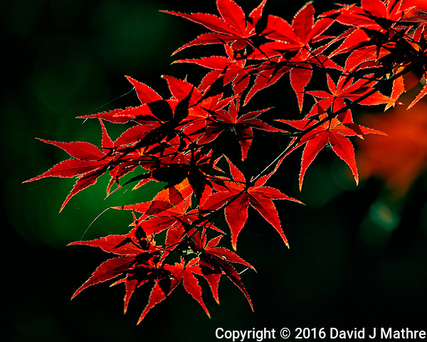 Bright red Japanese Maple leaves. Autumn backyard nature in New Jersey. Image taken with a Nikon DF camera and 300 mm f/4 lens (ISO 100, 300 mm, f/4, 1/400 sec). (David J Mathre)