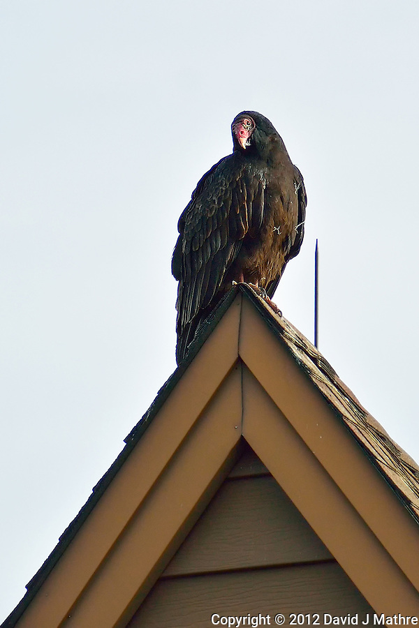 Turkey Vulture on a Rooftop Waiting to Warm in the Morning Sun. Image taken with a Nikon 1 V2 FT1 adapter and 70-200 mm f/2.8 VRII lens (ISO 160, 200 mm, f/2.8, 1/1600 sec). (David J Mathre)