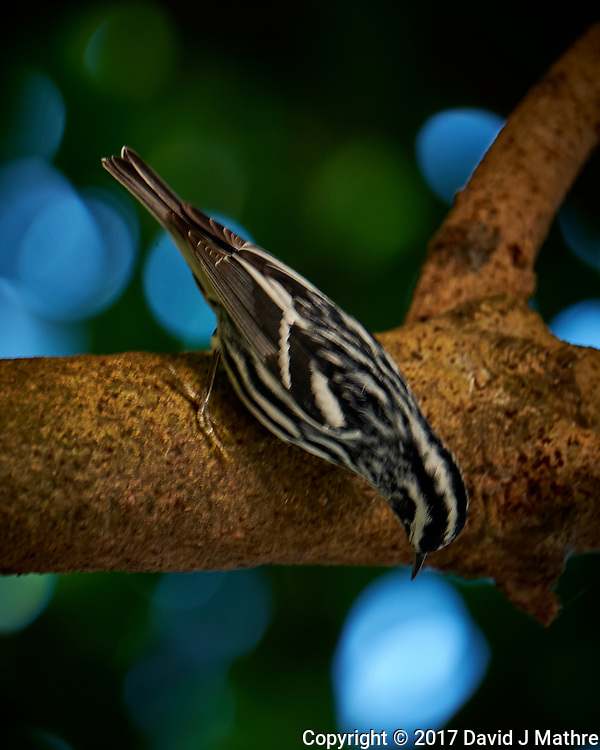 Black & White Warbler. Image taken with a Fuji X-T2 camera and 100-400 mm OIS lens (ISO 500, 400 mm, f/5.6, 1/60 sec) (David J Mathre)