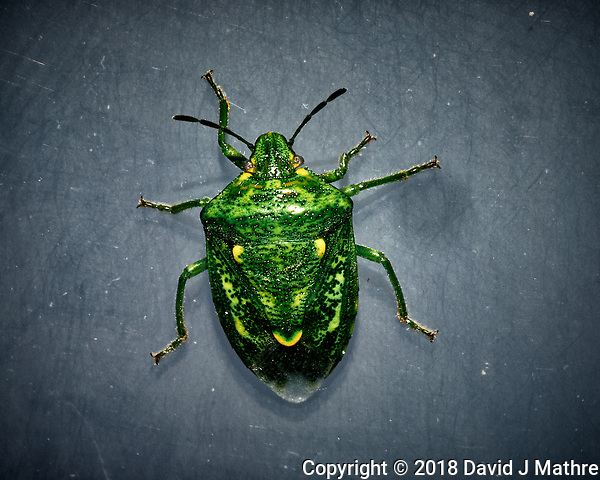 Green Stink Bug. Image taken with a Fuji X-T1 camera and 60 mm f/2.4 macro lens (ISO 200, 60 mm, f/16, 1/125 sec) + flash. (David J Mathre)