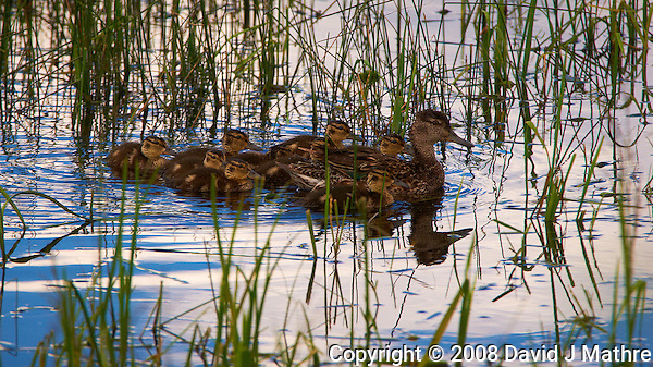 Duckling Nursery in a Marsh at Arapaho National Wildlife Refuge located in North Central Colorado. Image taken with a Nikon D300 and 80-400 mm VR lens (ISO 200, 400 mm, f/8, 1/500 sec). (David J Mathre)