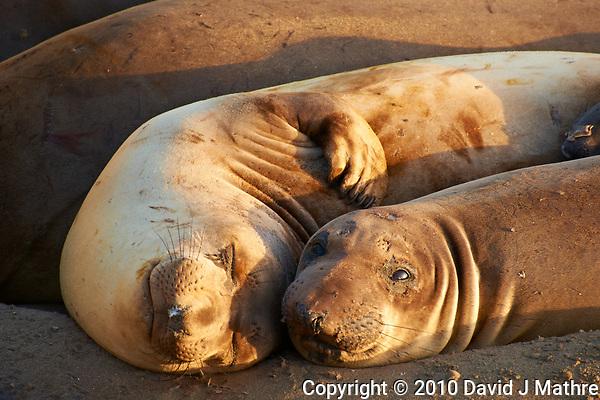 Elephant Seals at Piedras Blancas Beach, Central California Coast. Image taken with a Nikon D3x and 70-300 mm VR lens (ISO 400, 300 mm, f/8, 1/200 sec). (David J Mathre)