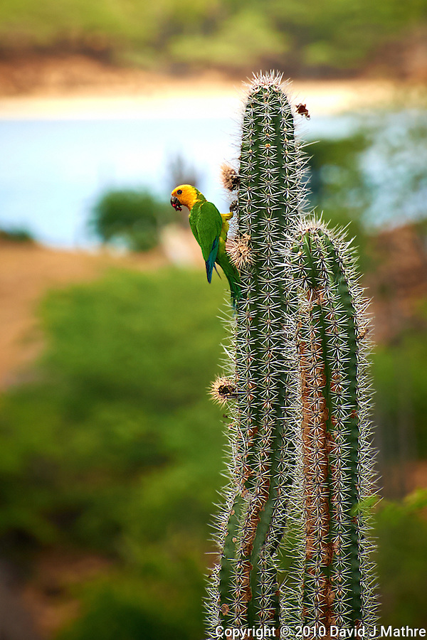 Bonaire Lora on a Tall Cactus in Bonaire. Image taken with a Nikon D3s and 70-300 mm VR lens (ISO 280, 300 mm, f/8, 1/320 sec). (David J Mathre)