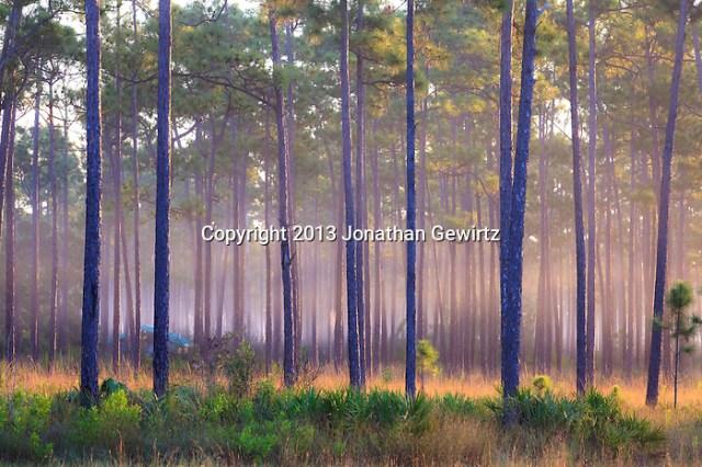 Morning fog in slash pines on Long Pine Key pond in Everglades National Park, Florida. (Jonathan Gewirtz   jonathan@gewirtz.net)