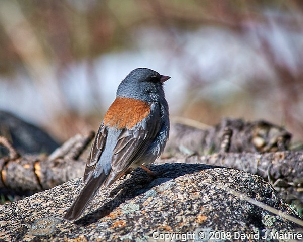 Early springtime Gray-headed Junco in Rocky Mountain National Park.Image taken with a Nikon D300 camera and 80-400 mm VR lens (ISO 200, 400 mm, f/8, 1/640 sec). (David J Mathre)