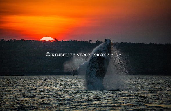 A female humpback whale breaches in a channel near Augustus Island in Camden Sound. The calf had breached seconds beforehand and the footprint was still visible. (Annabelle Sandes/© Annabelle Sandes | Kimberley Media 2012)