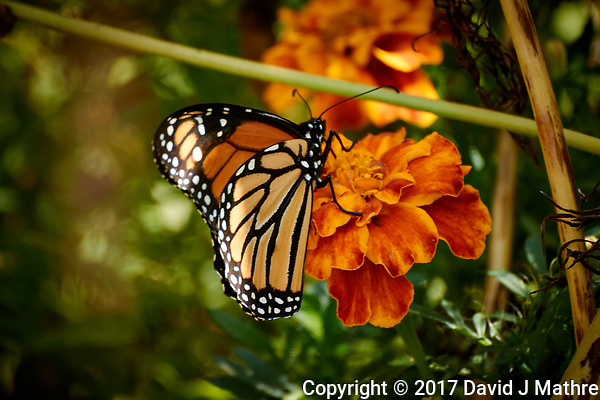 Monarch Butterfly on a Marigold Flower. Autumn Backyard Nature in New Jersey. Image taken with a Nikon 1 V3 camera and 70-300 mm VR telephoto zoom lens (ISO 160, 300 mm, f/5.6, 1/100 sec). (David J Mathre)