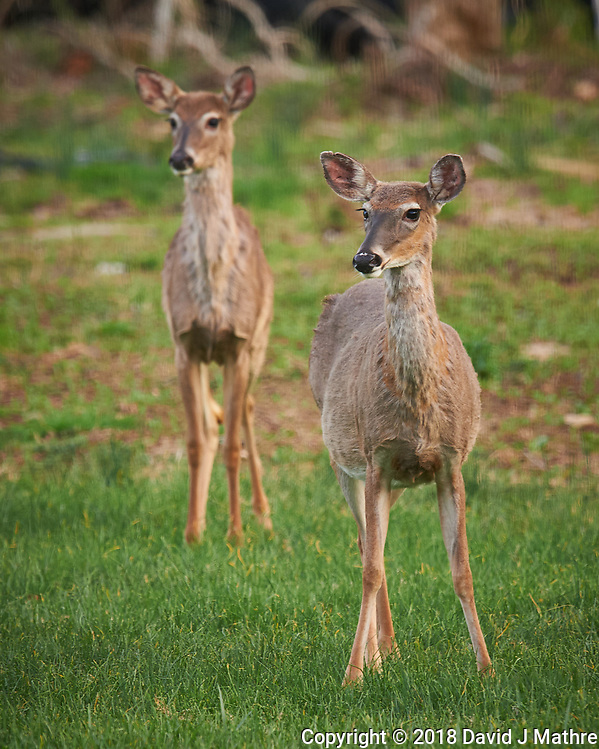 Pair of Wary Deer. Image taken with a Nikon D4 camera and 600 mm f/4 VR telephoto lens (David J Mathre)