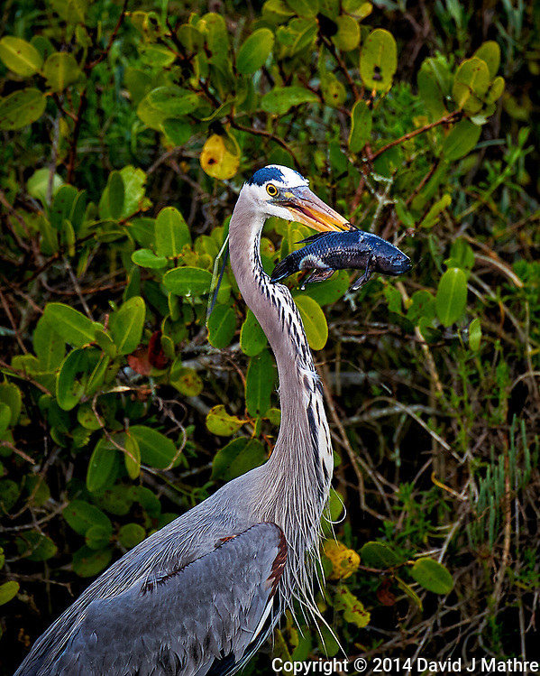 Great Blue Heron With Its Morning Catch. Merritt Island National Wildlife Refuge in Florida. Image taken with a Nikon D3s camera and 80-400 mm VRII lens (ISO 200, 400 mm, f/5.6, 1/80 sec). (David J Mathre)