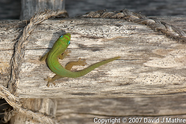 Gecko at Pu?uhonua o Honaunau National Historic Park. Image taken with D2xs and 105 mm f/2.8 macro lens (ISO 100, f/11, 1/80 sec).. (David J Mathre)