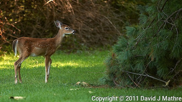 Doe Checking out a Downed Limb After Hurricane Irene. Image taken with a Nikon D3 and 500 mm f/4 VR lens (ISO 200, 500 mm, f/4, 1/200 sec). Raw image processed with Capture One Pro 6 and Photoshop CS5. (David J Mathre)