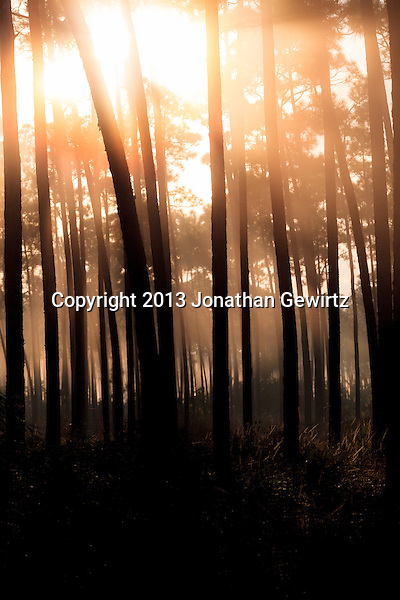 Morning fog in the pine forest at Long Pine Key in Everglades National Park, Florida. (Jonathan Gewirtz   jonathan@gewirtz.net)