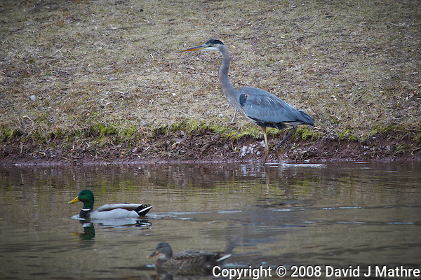 Great Blue Heron and Mallards. Sourland Mountain Preserve. Image taken with a Nikon D300 and 80-400 mm VR lens (ISO 800, 400 mm, f/8, 1/250 sec) (David J Mathre)