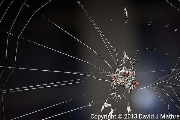 Crab Spider on Her Web. Florida winter backyard nature. Image taken with a Nikon D800 and 105 mm f/2.8G VR macro lens + SB-910 flash (ISO 100, 105 mm, f/16, 1/60 sec). (David J Mathre)