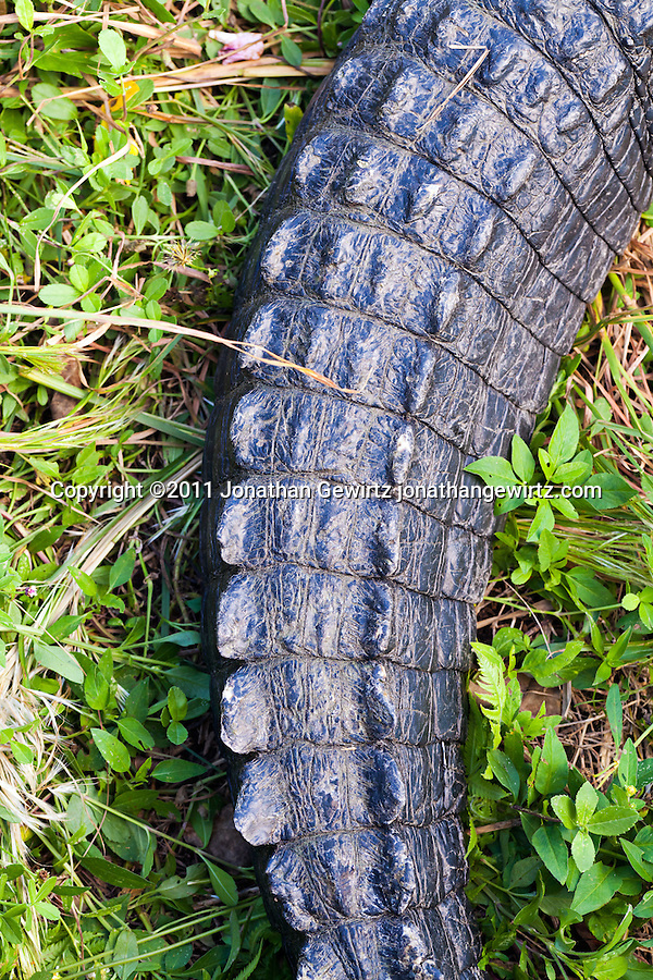 The tail of an American alligator (Alligator mississippiensis) in Everglades National Park. (Copyright 2011 Jonathan Gewirtz jonathan@gewirtz.net)
