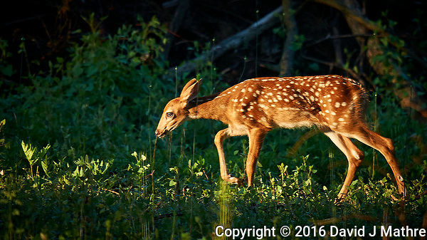 New Neighbor - Fawn with Spots and Doe in the Background. Image taken with a Nikon D3x camera and 600 mm f/4 VR lens (ISO 200, 600 mm, f/4, 1/640 sec). (David J Mathre)