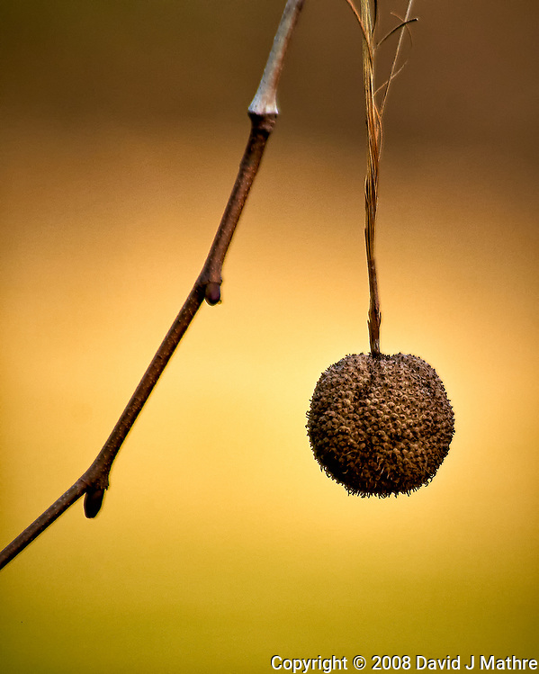Lone sycamore seed. Late winter backyard nature in New Jersey. Image taken with a Nikon D300 camera and 80-400 mm VR lens (ISO 200, 400 mm, f/5.6, 1/400 sec). (David J Mathre)