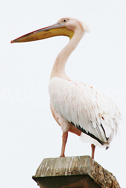 Pelican, Pale Pink and poised in Swakopmund, Namibia, Africa