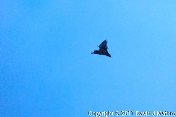 Bat in Flight at Dusk. Summer Nature in New Jersey. Image taken with a Nikon D3s and 400 mm f/2.8G II lens (ISO 12800, 400 mm, f/2.8, 1/320 sec). Raw image processed with Capture One Pro 6, Nik Define 2, and Photoshop CS5. (David J Mathre)
