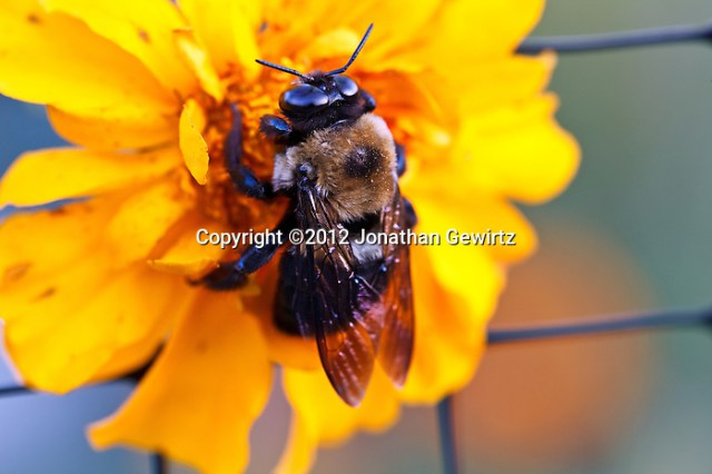 Closeup view of a bumble bee (Bombus) gathering nectar on a bright yellow flower. (Jonathan Gewirtz)
