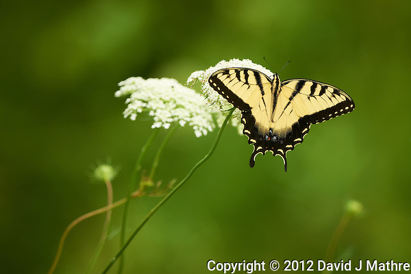 Tiger Swallowtail Butterfly on a Queen Anne's Lace Bloom at the Sourland Mountain Preserve in New Jersey. Image taken with a Nikon D800 and 500 mm f/4 VRII lens (ISO 800, 500 mm, f/5.6, 1/1000 sec). (David J Mathre)