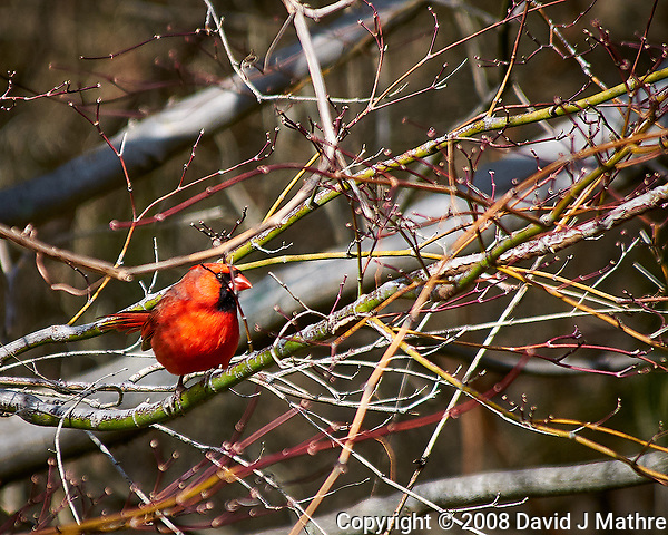 Male northern cardinal in the vines after a morning rain. Late winter backyard nature in New Jersey. Image taken with a Nikon D300 camera and 80-400 mm VR lens (ISO 200, 400 mm, f/5.6, 1/640 sec). (David J Mathre)