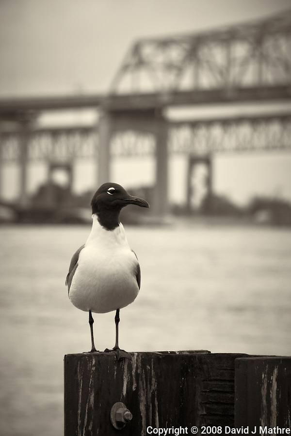 Seagull along the Mississippi River in New Orleans, Louisiana. Image taken with a Nikon D300 and 18-200 mm lens (ISO 200, 170 mm, f/8, 1/160 sec). Processed with Capture One Pro (including conversion to B&W). (David J Mathre)