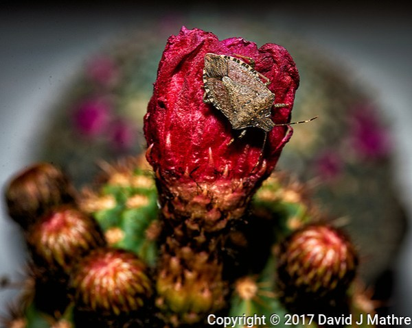 Stink bug on an old cactus bloom. Indoor spring nature in New Jersey. Image taken with a Nikon Df camera and 105 mm f/2.8 VR macro lens (ISO 100, 105 mm, f/16, 1/125 sec) + SB-910 flash). (David J Mathre)