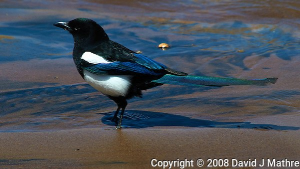 Black-Billed Magpie in Medano Creek. Great Sand Dunes National Park, Colorado. Image taken with a Nikon D300 and 80-400 mm VR lens (ISO 200, 400 mm, f/8, 1/1000 sec). (David J Mathre)