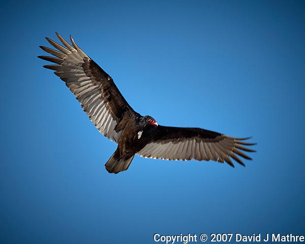 Turkey Vulture in flight. Backyard winter nature in New Jersey. Image taken with a Nikon D2xs camera and 80-400 mm VR lens (ISO 100, 400 mm, f/9, 1/320 sec). (David J Mathre)