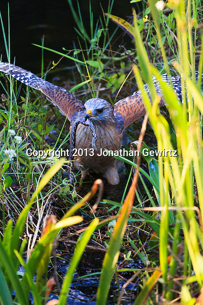 A Red-shouldered Hawk (Buteo lineatus) catching a snake in an Everglades canal. (Jonathan Gewirtz   jonathan@gewirtz.net)