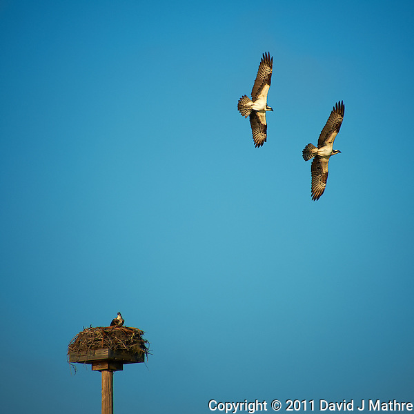 Top Gun Protecting His Mate and Nest. Osprey Aerial Battle. Fort Desoto County Park in St Petersburg, Florida. Image taken with a Nikon D700 and 28-300 mm VR lens (ISO 200, 300 mm, f/5.6, 1/1000 sec). (David J Mathre)
