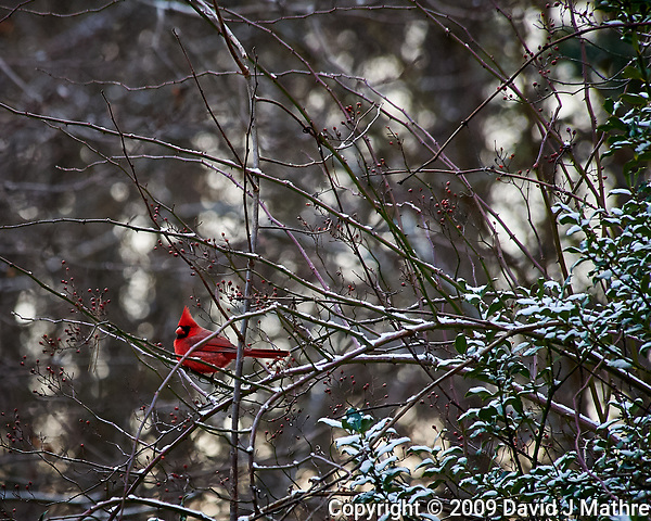 Lone male red cardinal after a light snow. Images taken with a Nikon D700 camera and 80-400 mm VR lens (ISO 1600, 400 mm, f/5.6, 1/250 sec) (David J Mathre)