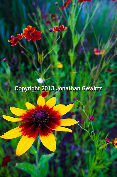 Colorful summer wildflowers in a Maryland garden. (Jonathan.Gewirtz@gmail.com)