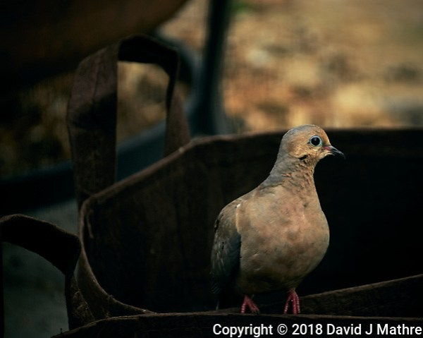 Mourning Dove. Image taken with a Fuji X-T2 camera and 100-400 mm OIS telephoto zoom lens (David J Mathre)