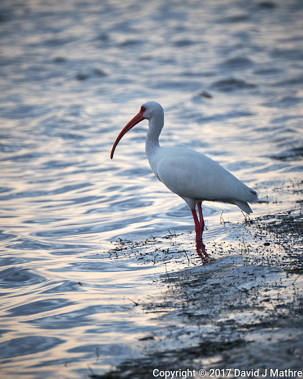 White Ibis at the edge of the water. Sunrise at Fort De Soto Park. Pinellas County, Florida Image taken with a Fuji X-T2 camera and 100-400 mm OIS lens (ISO 500, 400 mm, f/5.6, 1/60 sec). (David J Mathre)